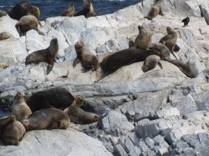 Ilha com lobos marinhos -- o cheiro é péssimo!