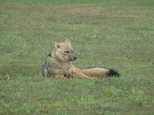 É possível avistar raposas na região. Essa estava bem próxima do nosso hotel
